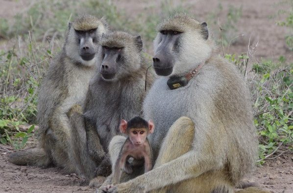 A group of three baboons and a baby sitting in the open, one baboon has a large tracking collar