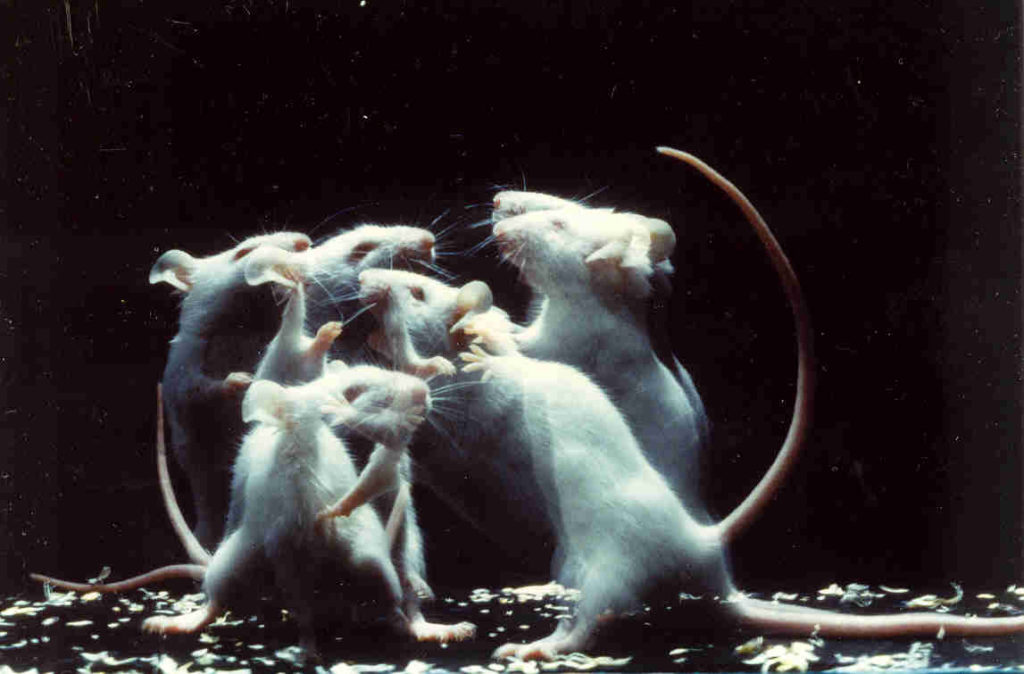A group of mice fighting in front of a dark background