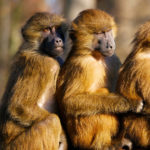 Three primates sitting close to each other in a line